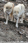 Arctic Wolf (005)