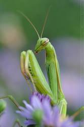 Mantis (002)
