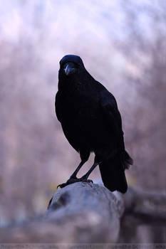 Crow (008)