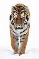 Siberian Tiger (023) by Sikaris