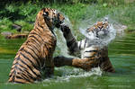Siberian Tiger (024) by Sikaris