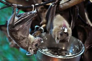 Bat (004) - breakfast by Sikaris