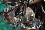 Bat (004) - breakfast