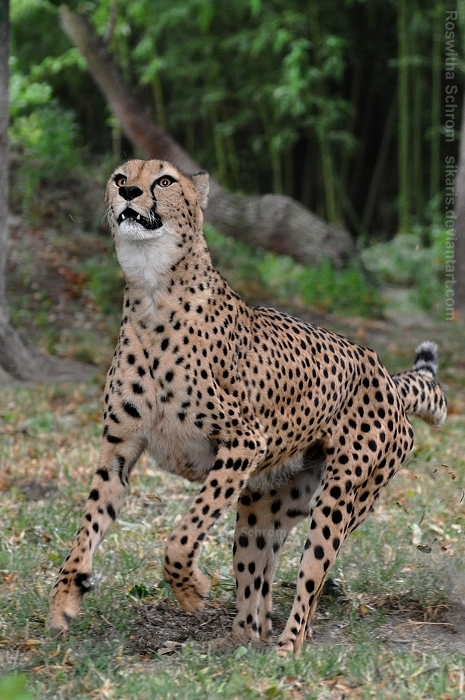 Cheetah (010) by Sikaris