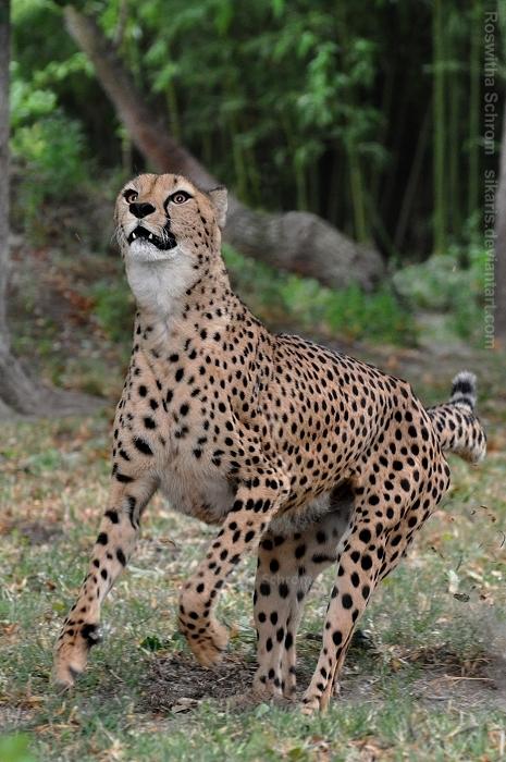 Cheetah (010) by Sikaris
