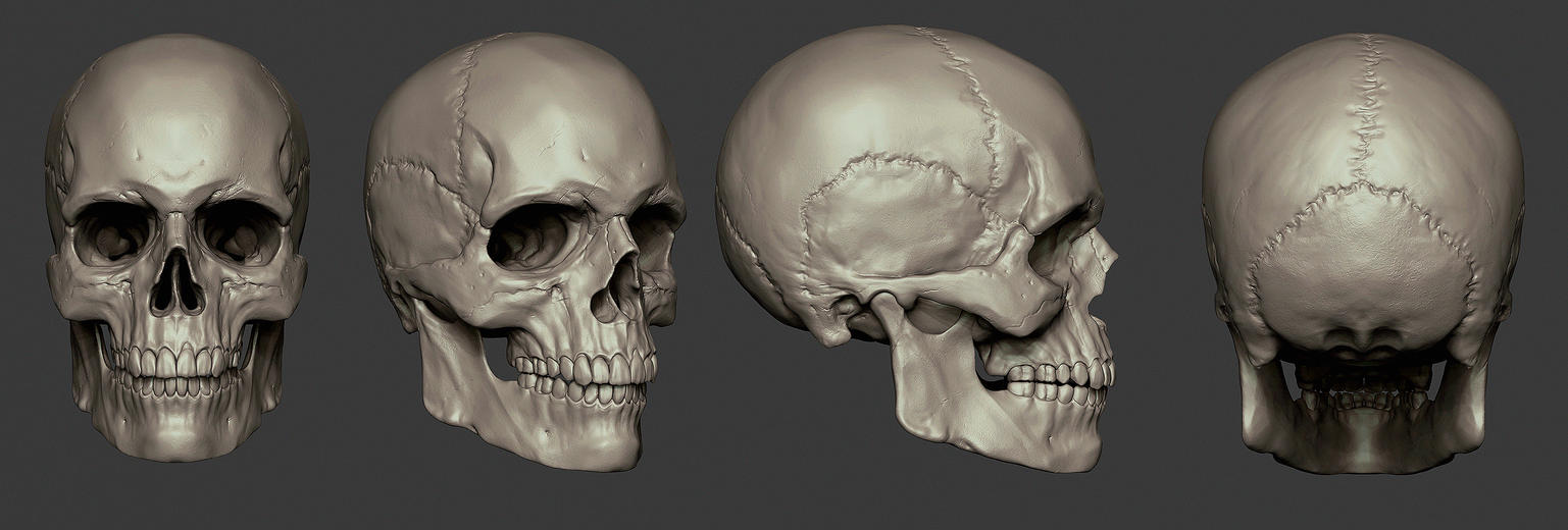 Skull Study by synthesys