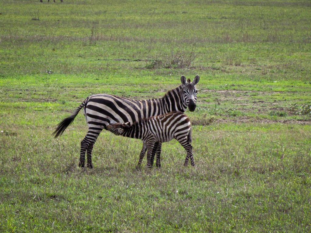 Baby zebras running