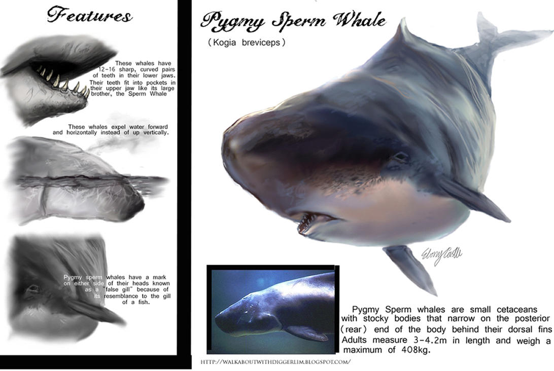 Pigmy sperm whale — pic 12