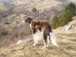 borzoi in the forest