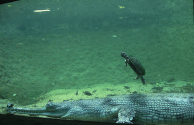 Gharial and Turtle by celebrus