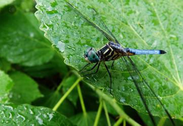 Blue Sky Dragonfly by Karisa-L-Clark