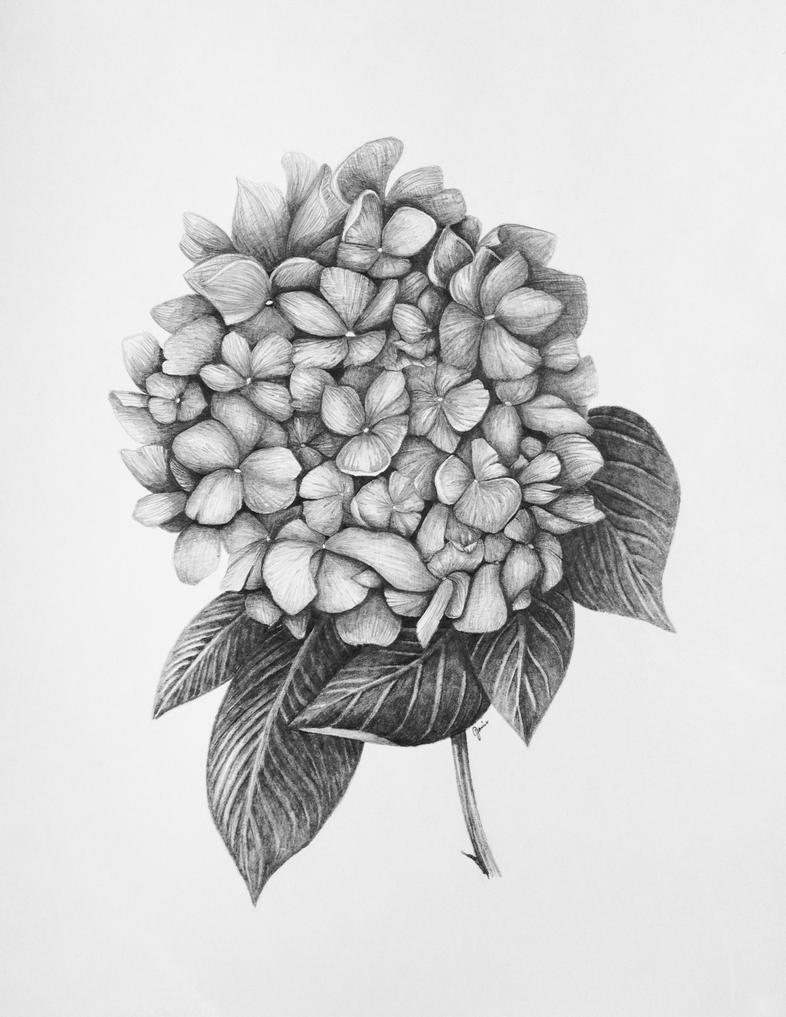 Hydrangea By ArtVio On DeviantArt