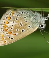 Polyommatus icarus.13 by amensis
