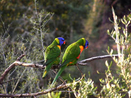 Rainbow Lorikeet Couple by Galato901