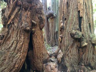 Redwood Trunks by Wannabby