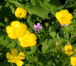 Wildflowers I 'Peekaboo'