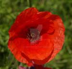 Poppies IV