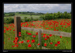 Poppies II_b