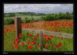 Poppies II_b