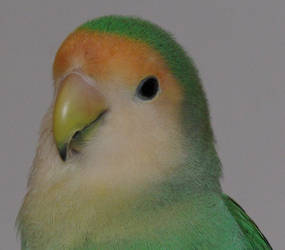 Lovebird 1 by korenwolf