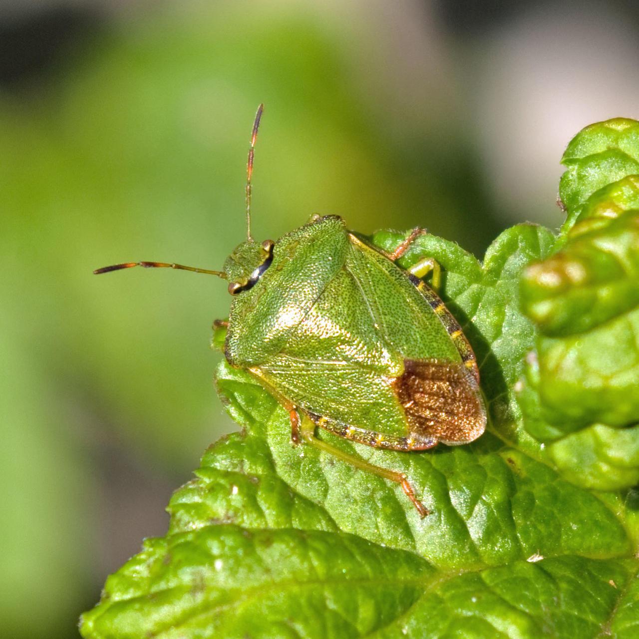Glorious Bug