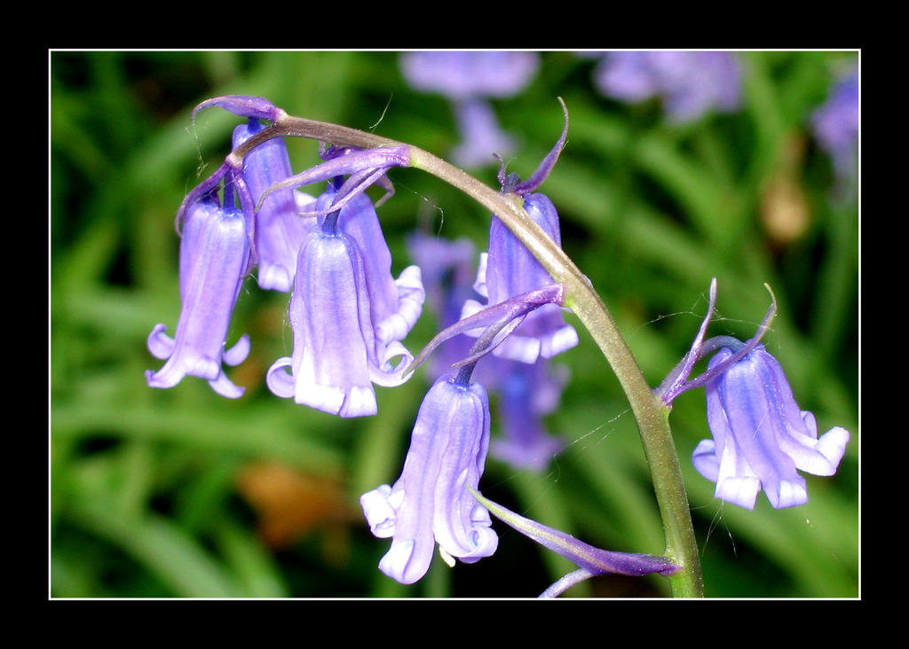 bluebells___02_by_korenwolf-d6c9rlv.jpg