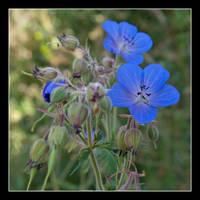 Wild Flower 2 by korenwolf