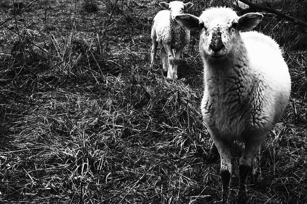 Sarkic Lamb by CanisHenosis