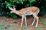 Fawn Stock image1