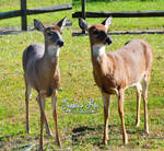 Deer/Doe Stock Images
