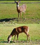 Deer/Doe Stock images2