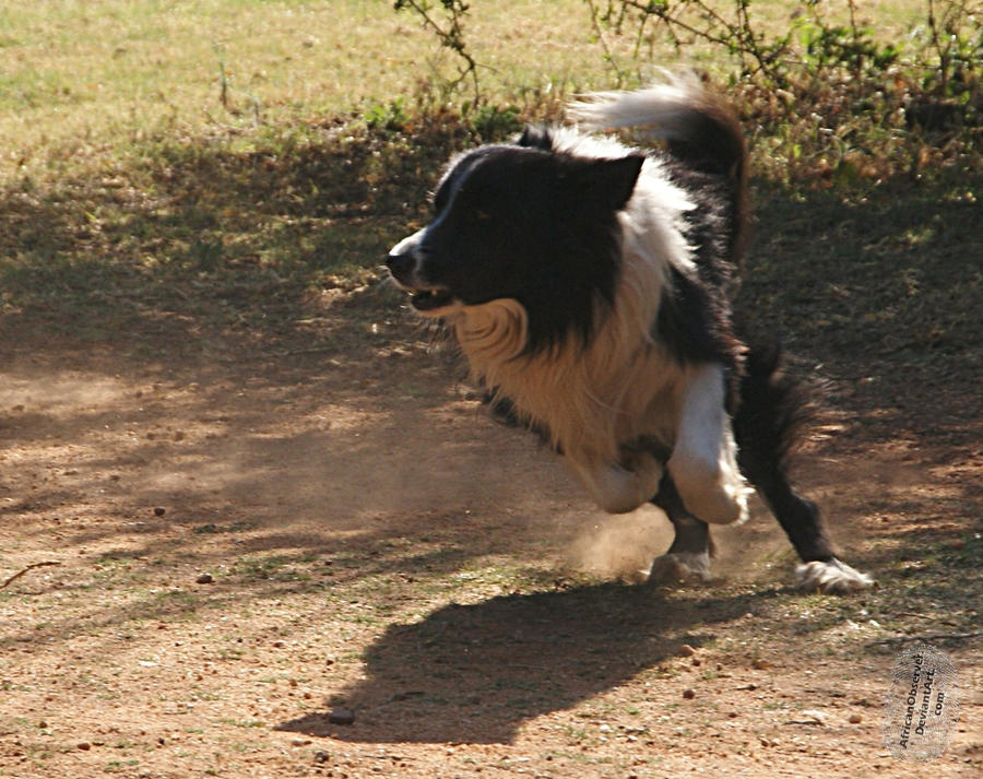 Border Collie on the turn by AfricanObserver