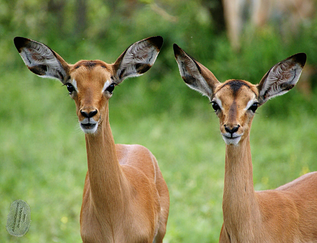 Young Impala by AfricanObserver