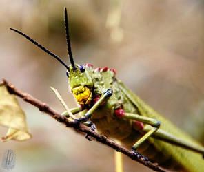 Locust by AfricanObserver