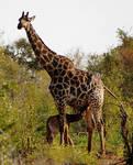 Suckling Giraffe