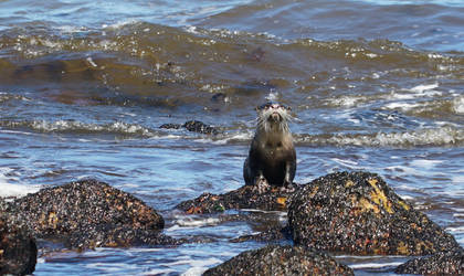 Cape Clawless Otter by AfricanObserver