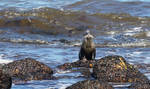 Cape Clawless Otter