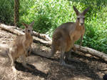 The roos or kangaroos