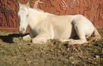 White horse stock 6