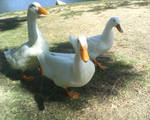 Stereotypical ducks by Ayame-Kenoshi
