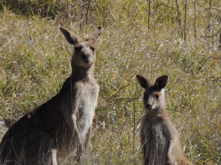 mama and baby kangaroo - photo #15