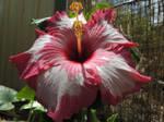 Hibiscus: Selina 2