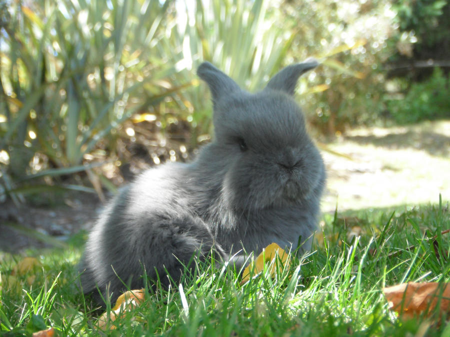 Baby lop eared rabbit - photo#22
