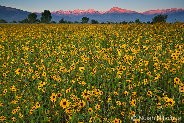 Sierra Sunflower Sunrise by narmansk8