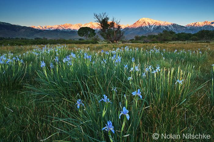 Eastern Sierra Iris Sunrise by narmansk8
