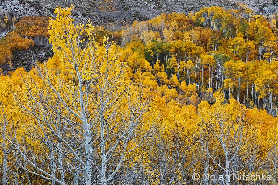 Bishop Creek Aspen by narmansk8