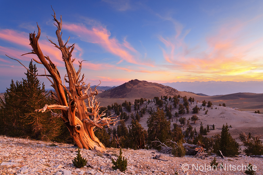 Ancient Bristlecone Sunset by narmansk8