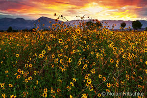 Sierra Sunflower Sunset by narmansk8