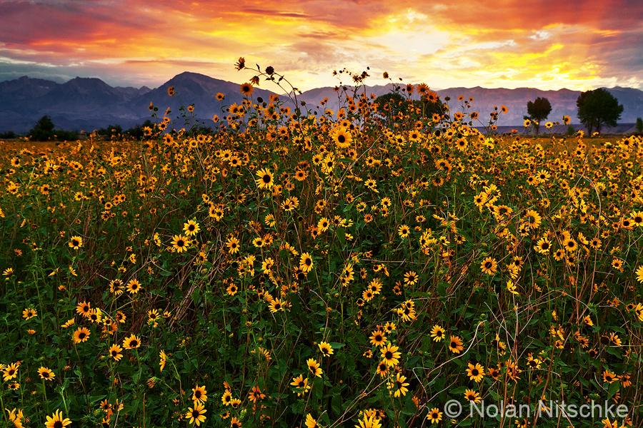 Sierra Sunflower Sunset by narmansk8