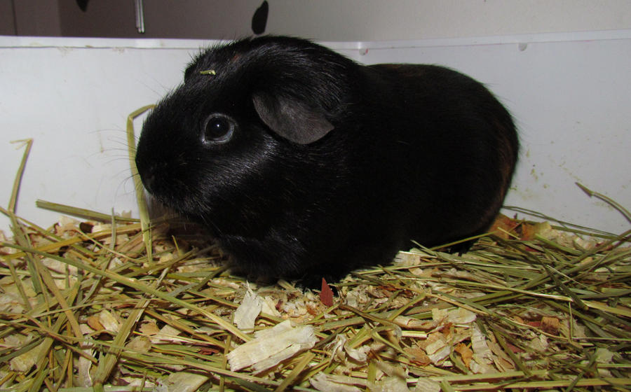 Wallpaper download jat - Rosie My Guinea Pig By Chubby Cow On Deviantart